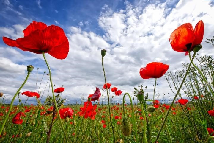 Field of Poppy flowers with blue sky and clouds
